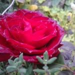 Rose und Kräuter
